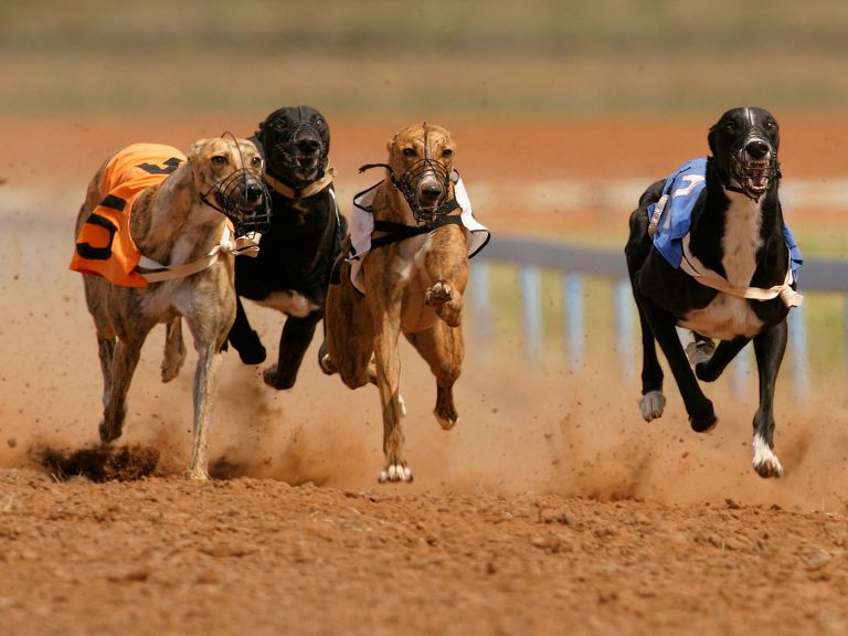 Bahisnow Köpek Yarışları